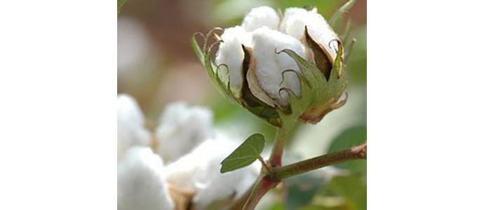 Le coton bio à préférer au coton conventionnel